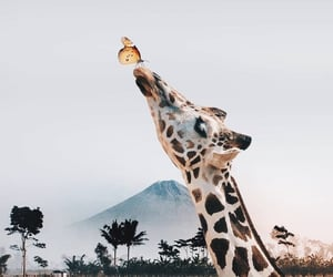 animal, giraffe, and butterfly image
