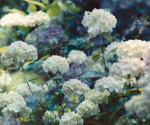 hydrangeas, white, and nature image