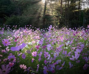 cosmos, autumn, and flower image