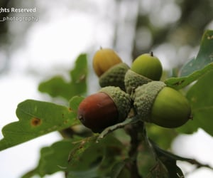 acorns, brown, and leaves image