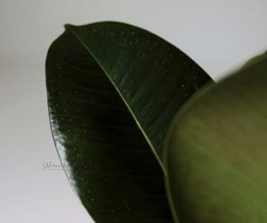 photography, plants, and elastica image