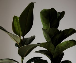 plant, ficus, and siniirr image