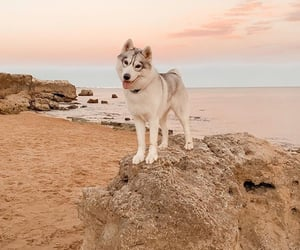 animal, husky, and beach image