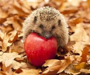 hedgehog, apple, and autumn image