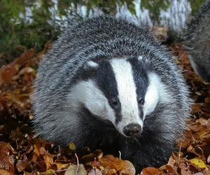 adorable, badger, and fall image