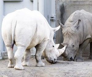 rhino, rhinoceros, and albino image