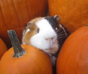 adorable, autumn, and guinea pig image