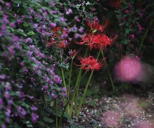 flora, in bloom, and spider lily image