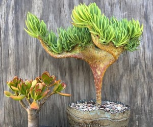 mermaidtail, succulent plant, and mermaid plant image