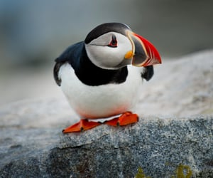 bird, animal, and puffin image