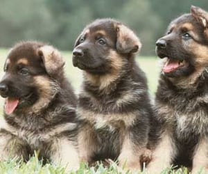 dogs, german shepherd, and puppies image