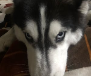 blue eyes, husky, and nena image