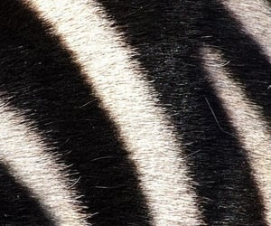 black and white, stripes, and zebra image