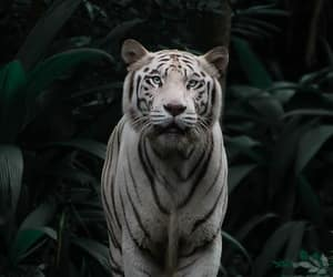 animal, big cat, and bushes image