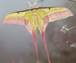 fauna and comet moth image