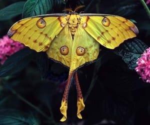 comet moth image
