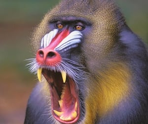 primate, wildlife, and roaring image