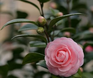 camellia, flower, and garden image