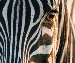 close up, zebra, and wildlife image