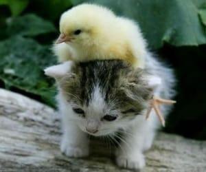 chick kitty