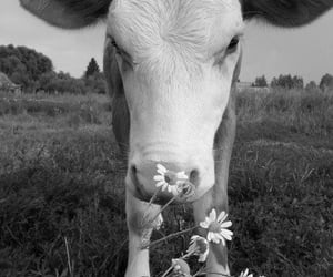 animals, nature, and cow image