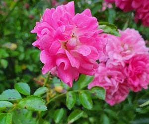 flowers, roses, and wild flower image