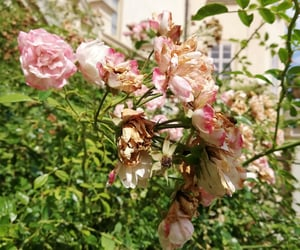 flower, garden, and roses image