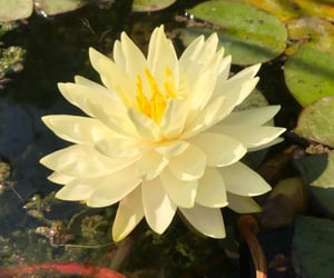 clarity, peace, and waterlilies image