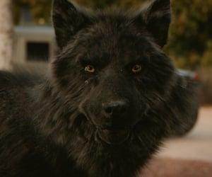 The Originals, to, and werewolf image