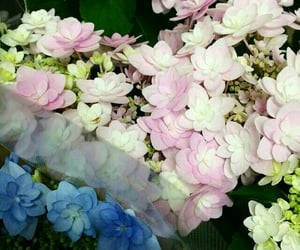 flower, flowers, and hydrangea image
