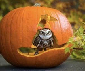 autumn, owl, and pumpkin image