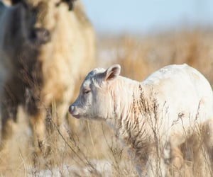animals, cattle, and country living image