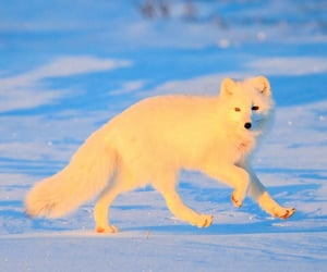 animals, arctic, and fox image