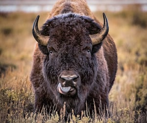 animals, bison, and wildlife image