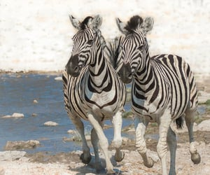wildlife, animals, and zebra image
