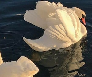 animal, Swan, and aesthetic image