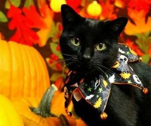 black cat, cat, and autumn image