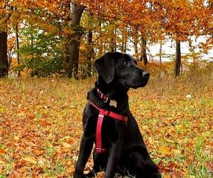 autumn, labrador, and color image