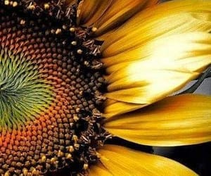 amarillo, flor, and flower image