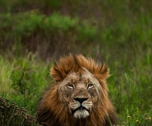 private game reserve, gorgeous lion, and in phinda image