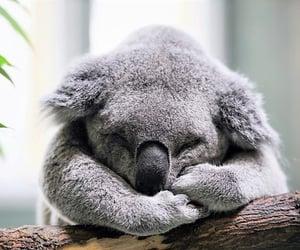 Oso Koala ...