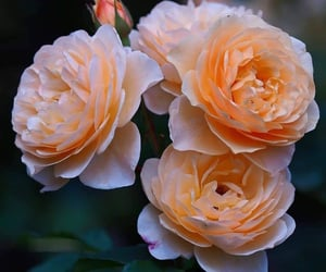 flores, flowers, and roses image