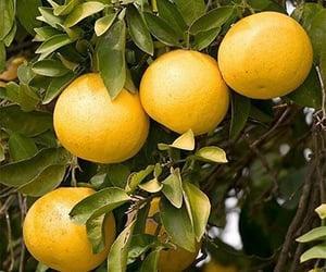 grapefruit oil image