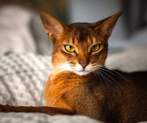 big eared cats, cats with big ears, and cats with large ears image