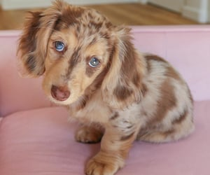 dachshund, puppy, and pets image