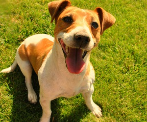 dirty, jack russel terrier, and little image