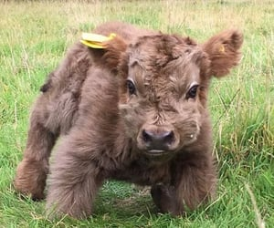 animal, cow, and fluffy image