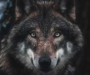 wild, wolf wp, and wolf image