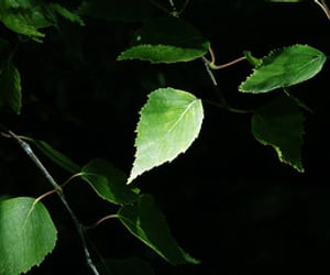 birch, bright, and contrast image