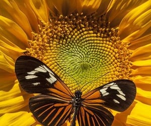 butterfly, sunflower, and yellow image
